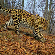 Unnamed leopard Leo 91M