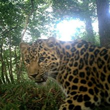 Unnamed leopard Leo 99M