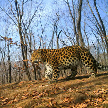 Unnamed leopard Leo 53M