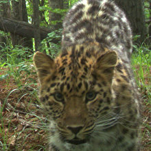 Leopardess Pukha