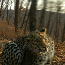Unnamed leopard Leo 71M
