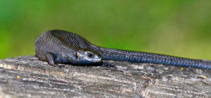 A rare find that may be Russia's first melanistic specimen of a viviparous lizard (Zootoca vivipara)
