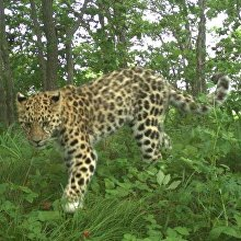 Unnamed leopard Leo 6
