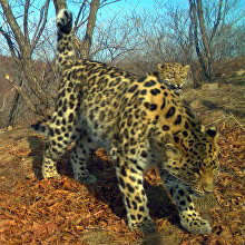 Unnamed leopard Leo 67