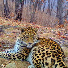 The leopard Manchur